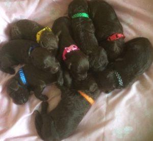 Pups litter