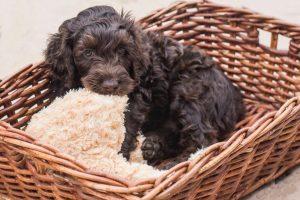 S Pup inside basket