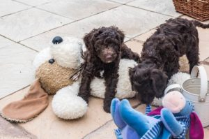 S Pups n Teddy
